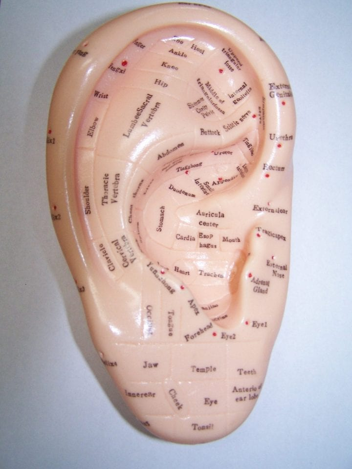 ear reflexology model