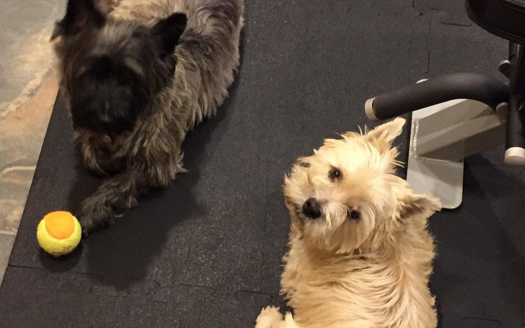 Both #puppies are keeping me company while i #exercise #cairns #terriers