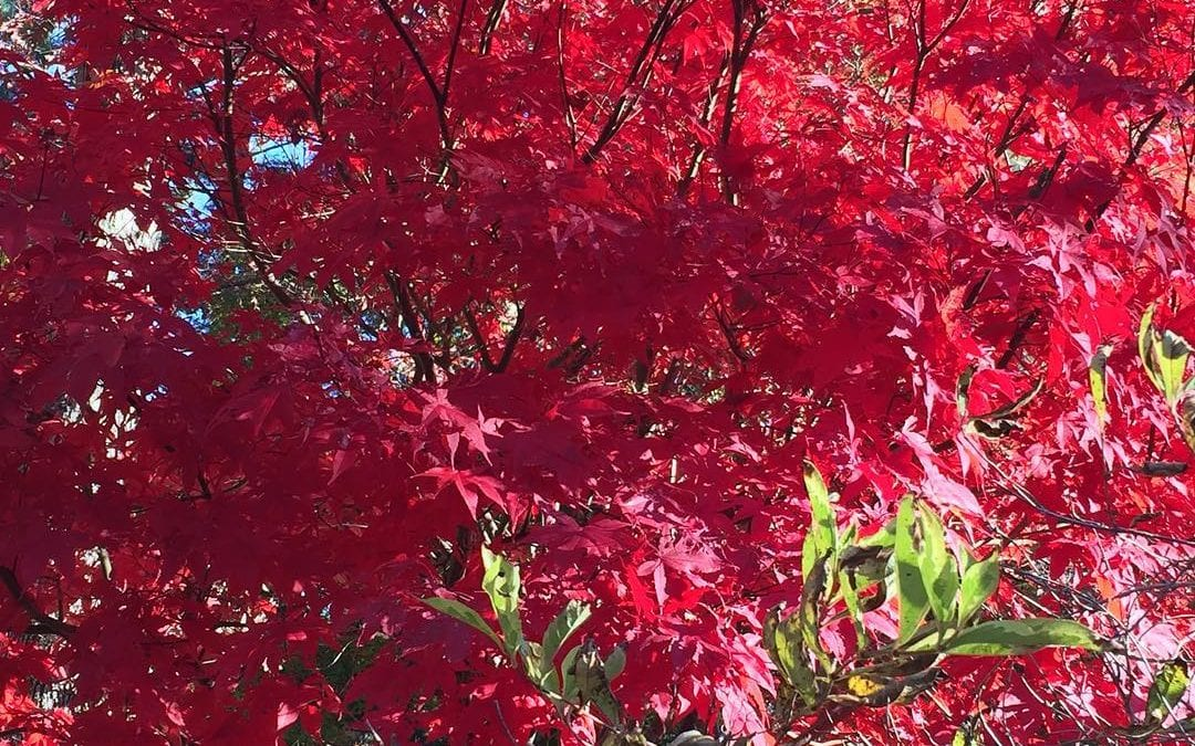 Incredible red #Japanesemaple #autumn #newengland